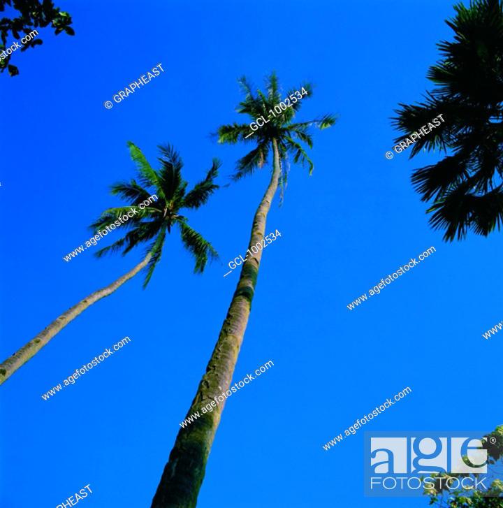 Stock Photo: Tall palm trees.