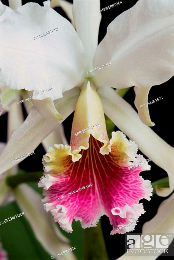 Orchid Cattleya Rex Stock Photo Picture And Rights