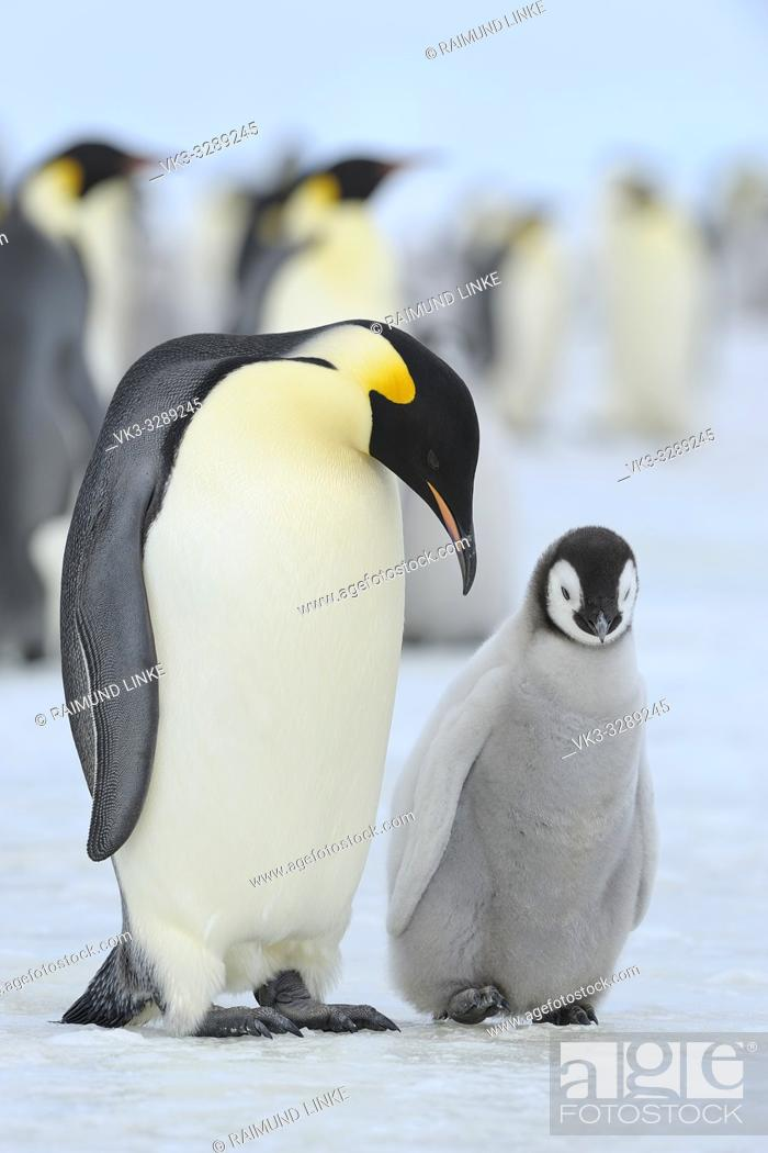 Stock Photo: Emperor penguins, Aptenodytes forsteri, with a Chick in Penguin Colony, Snow Hill Island, Antartic Peninsula, Antarctica.