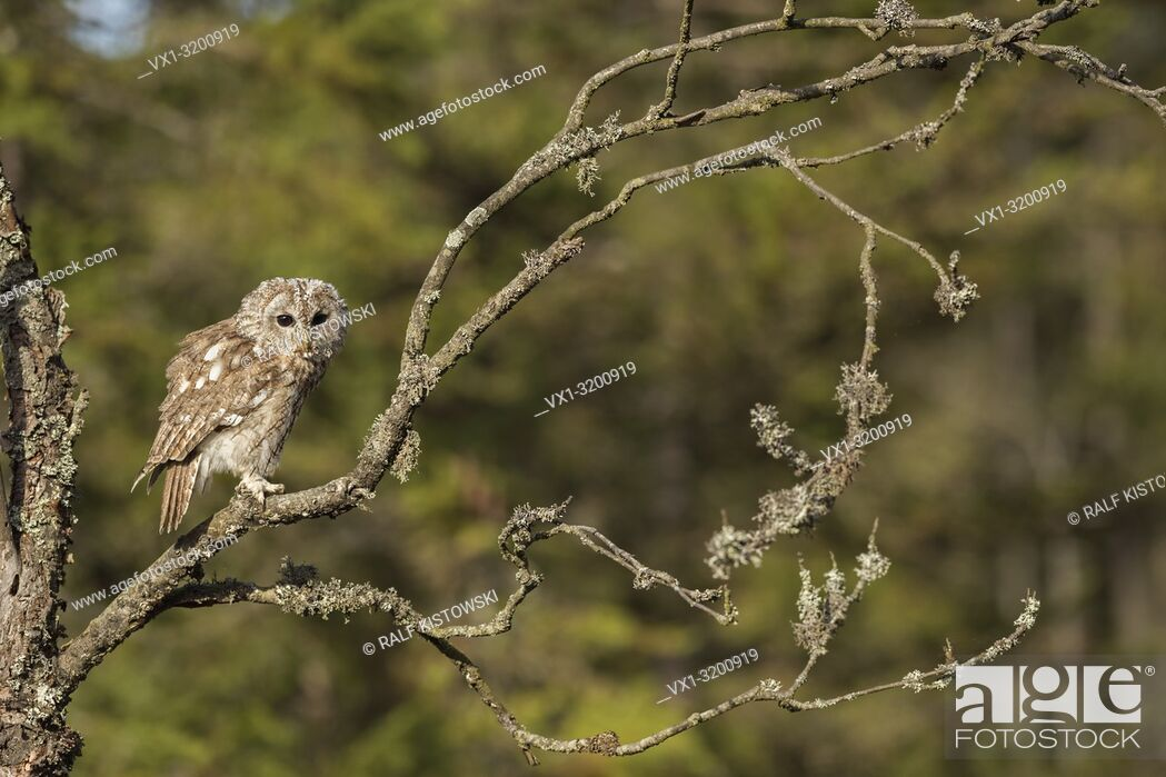 Stock Photo: Tawny Owl (Strix aluco) perched on a branch of a dry tree, close to the edge of a forest.