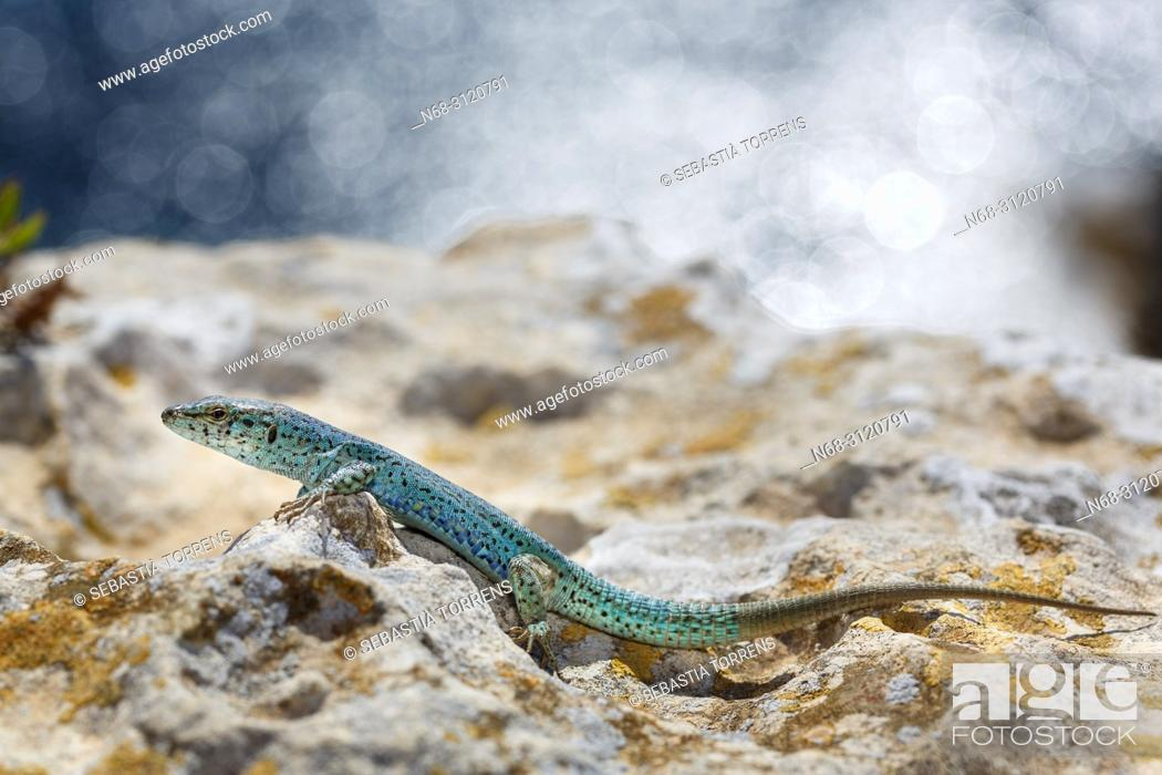 Stock Photo: Ibiza wall lizard, Podarcis pityusensis formenterae, Formentera, Balearic Islands, Spain.