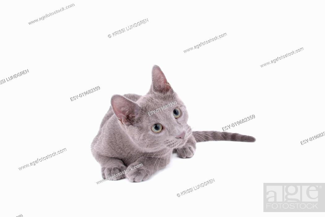Stock Photo: Russian Blue Cat.