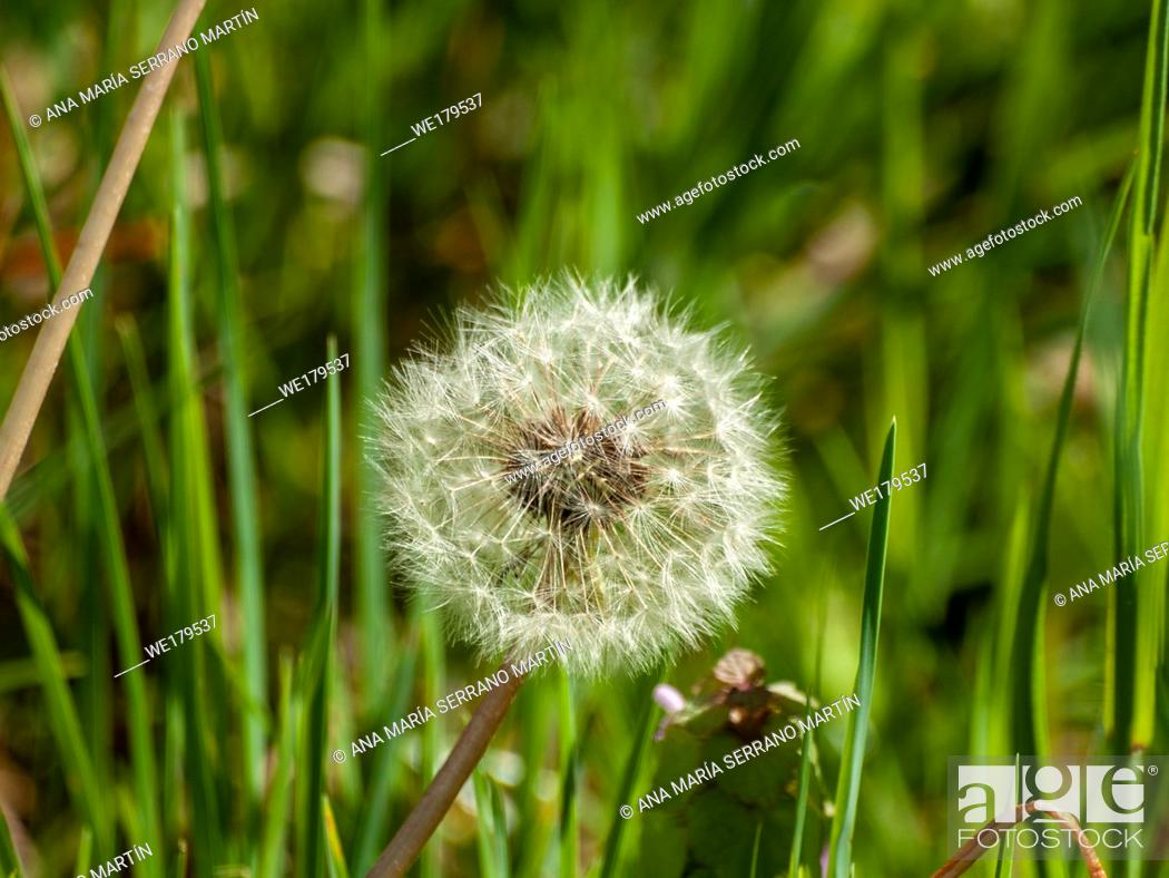 Stock Photo: Dandelion seed (Taraxacum officinale) in spring in the grass.