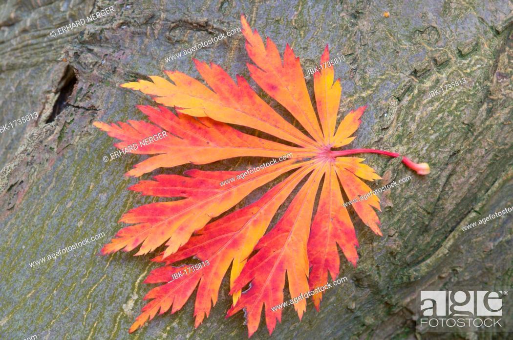 Imagen: Japanese Maple or Fullmoon Maple (Acer japonicum cultivar Aconitifolium), leaf.