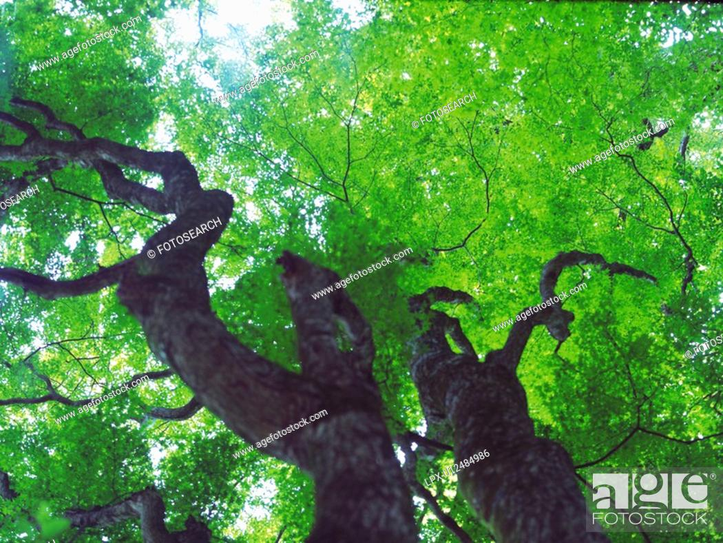 Stock Photo: Trees in the Woods, Low Angle View, Pan Focus.
