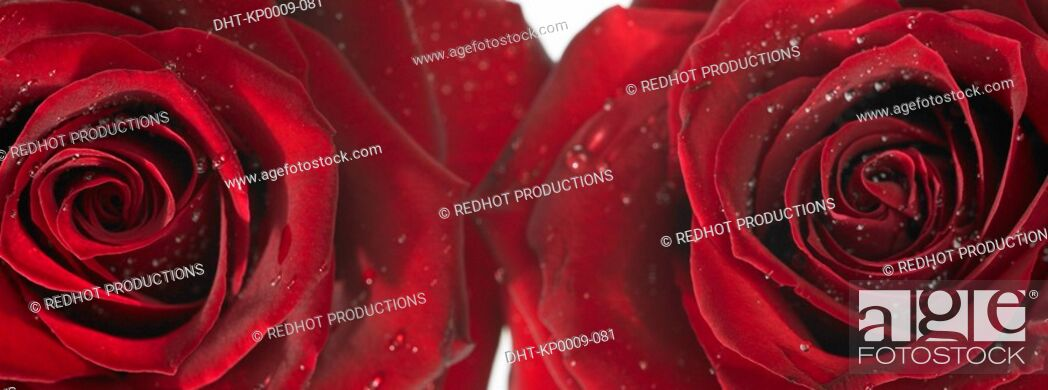 Stock Photo: Two Red Roses with dew.