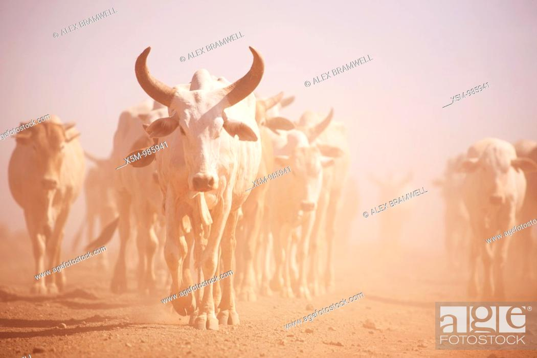 Stock Photo: Longhorn Cattle in the Desert of Northern Kenya.