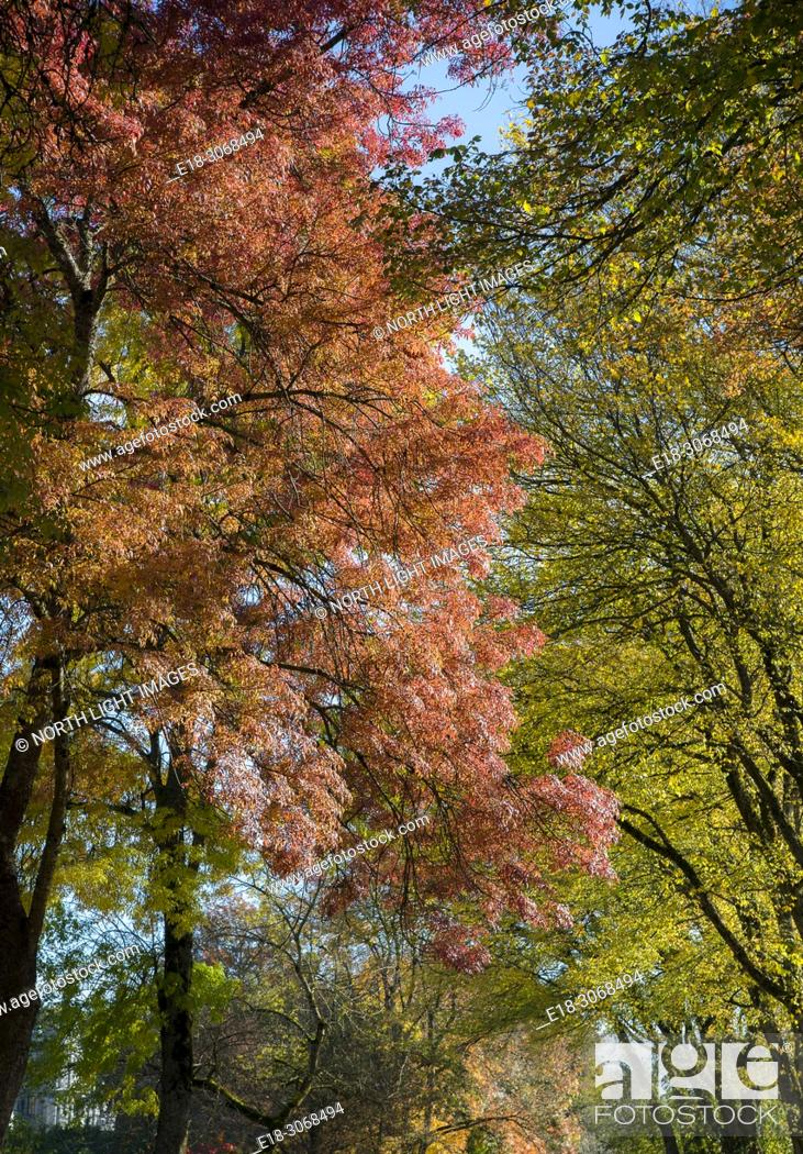 Stock Photo: Canada, BC, Vancouver. Looking up at the trees on tree lined street with fall colours beginning to show. Upscale neighbourhood in the West Side of the city.