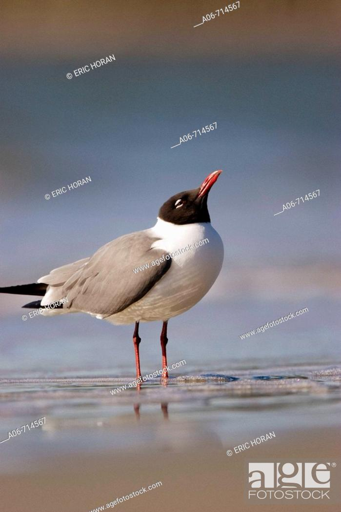 Stock Photo: Laughing Gull.