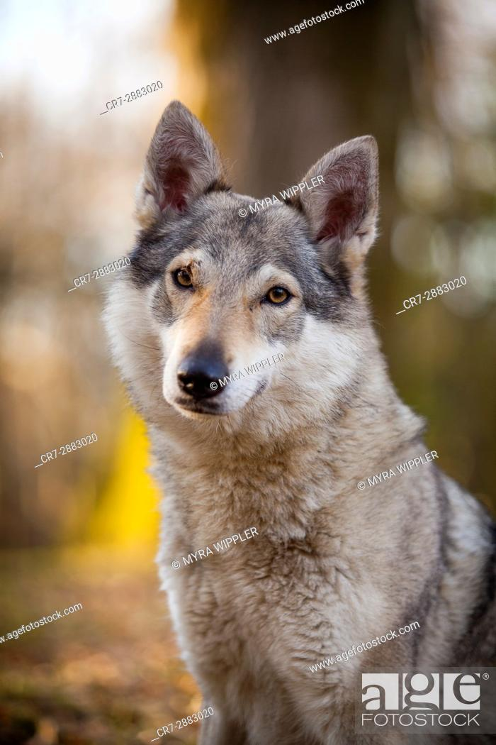 Stock Photo: Wolf dog in the park.