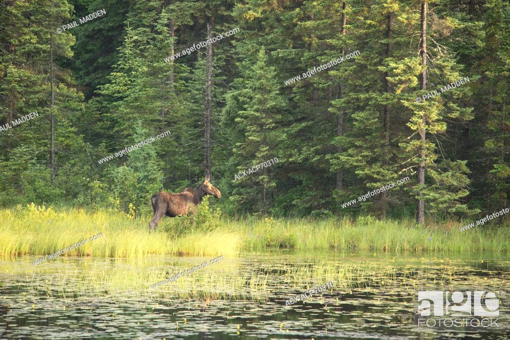 Stock Photo: Cow Moose( Alces alces ) , Algonquin provincial Park, Ontario, Canada.
