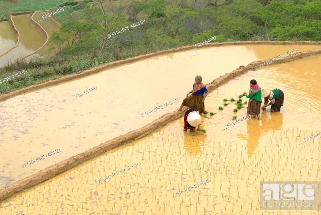 Stock Photo: Vietnam. North Vietnam. Bac Ha area. Work on the rice field. Flower Hmong ethnic group.
