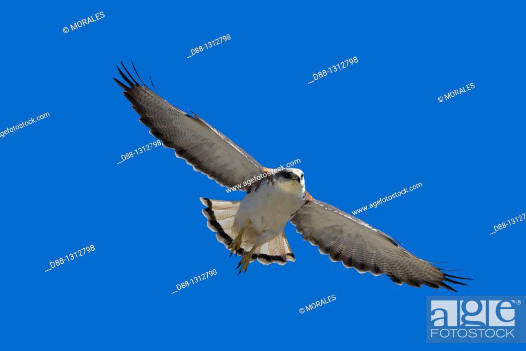 Stock Photo: Falkland Islands , Pebble island , Variable Hawk or Red-backed HawkButeo polyosoma female.