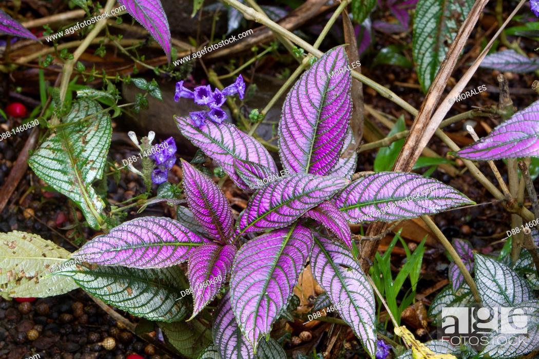 Stock Photo: Hawaï , Big Island , Hamakua coast , Tropical botanical garden , Persian shield  Strobilanthes dyeranus  , family : acanthaceae.