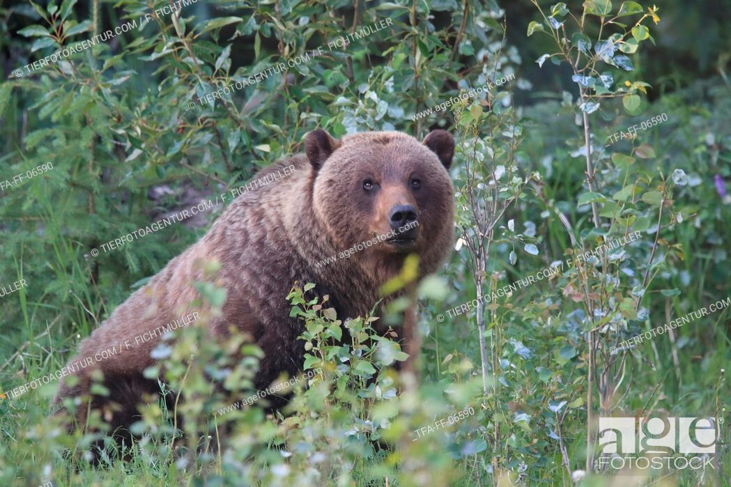 Stock Photo: Grizzly bear.