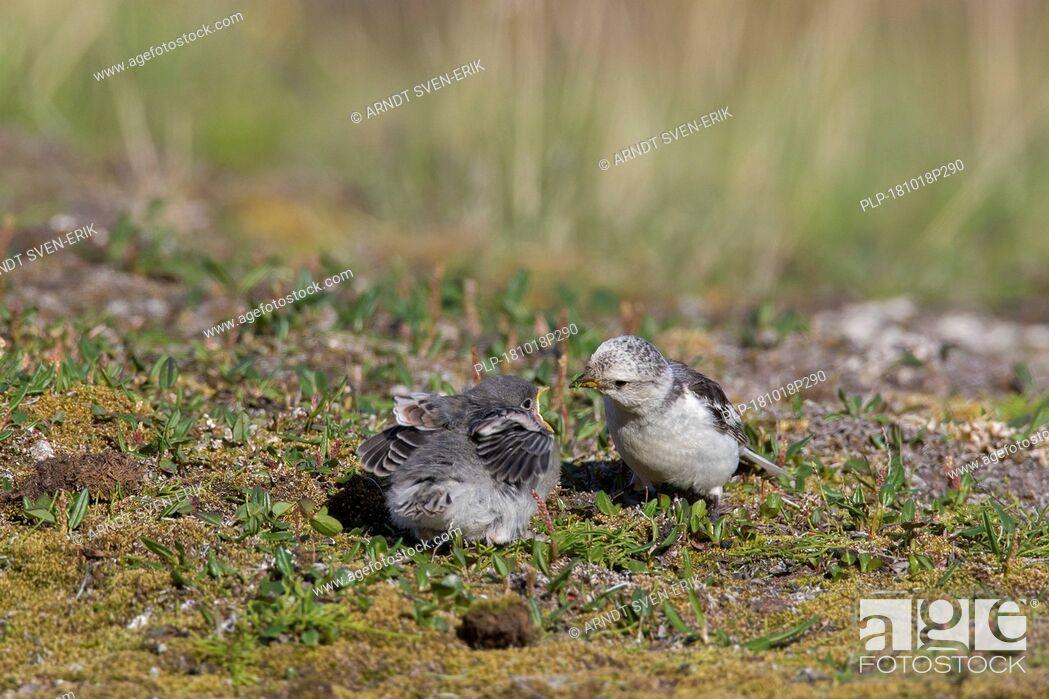 Imagen: Snow bunting (Plectrophenax nivalis / Emberiza nivalis) female in breeding plumage feeding chick on tundra in Svalbard / Spitsbergen.