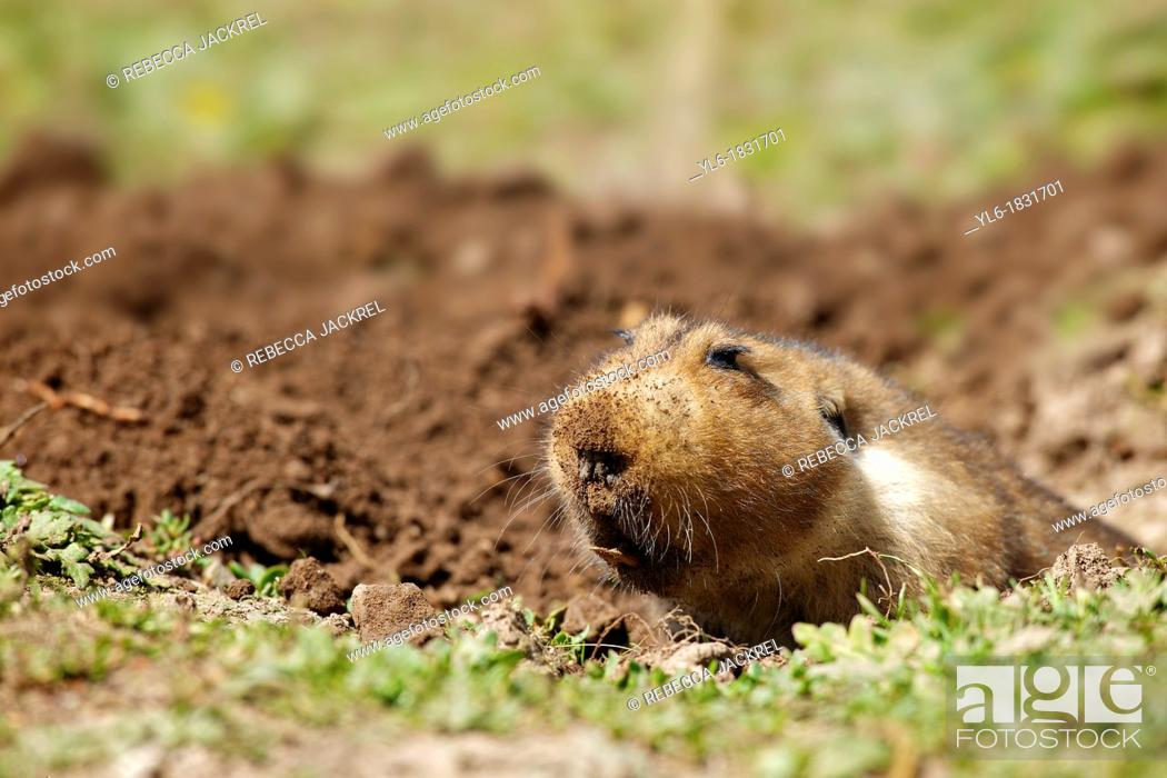 Stock Photo: Endemic to the Bale Mountains in Ethiopia, the giant mole rat is the prey of choice for the Ethiopian wolf.