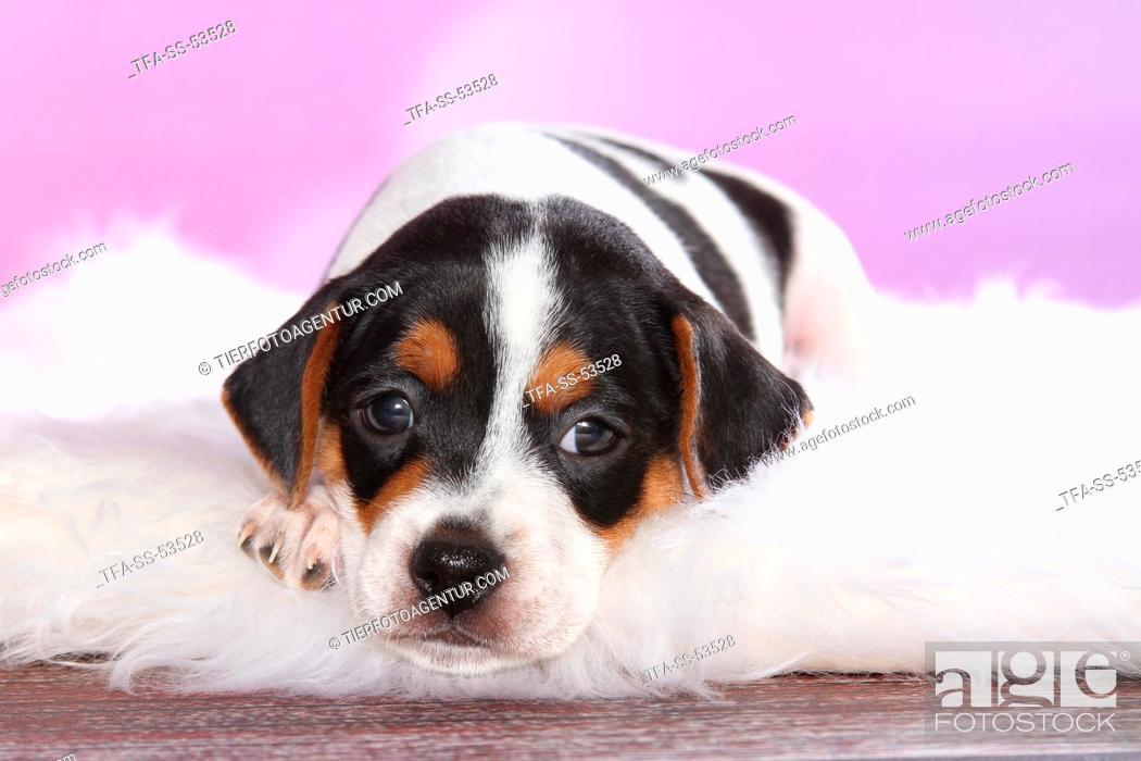 Stock Photo: Dansk Svensk Gaardshund Puppy.