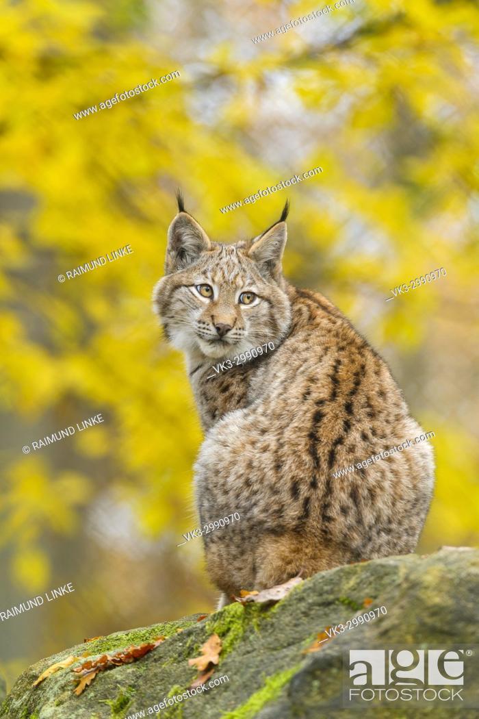 Photo de stock: Eurasian Lynx, Lynx lynx, in Autumn, Germany, Europe.
