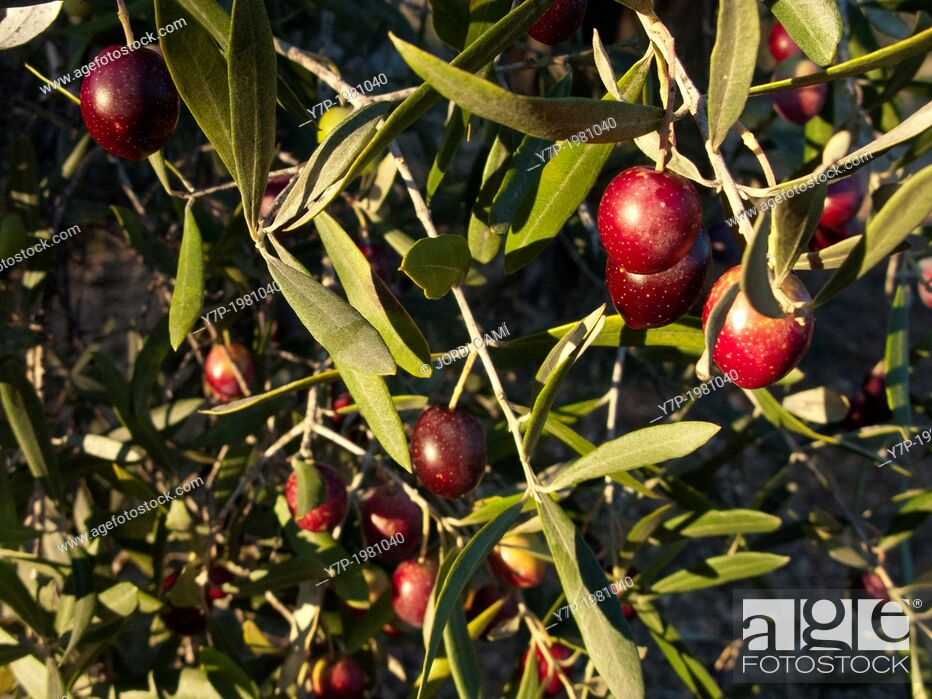 Imagen: Olive tree. Tarragona province.Catalonia.Spain.