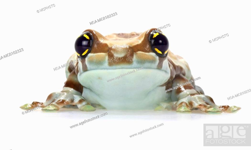 Stock Photo: Phrynohyas resinifictrix, Amazonian canopy frog.