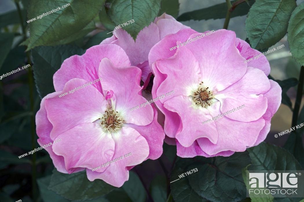 Imagen: Hybrid rose (Rosa).