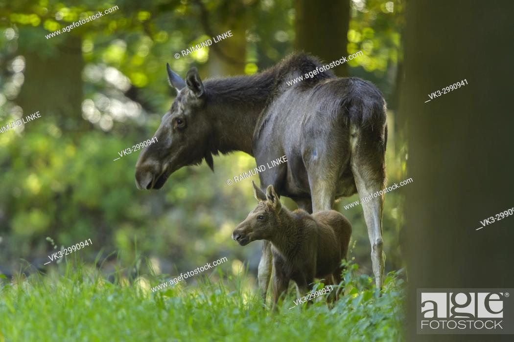 Imagen: Moose, Elk, Alces alces, Mother and Calf.