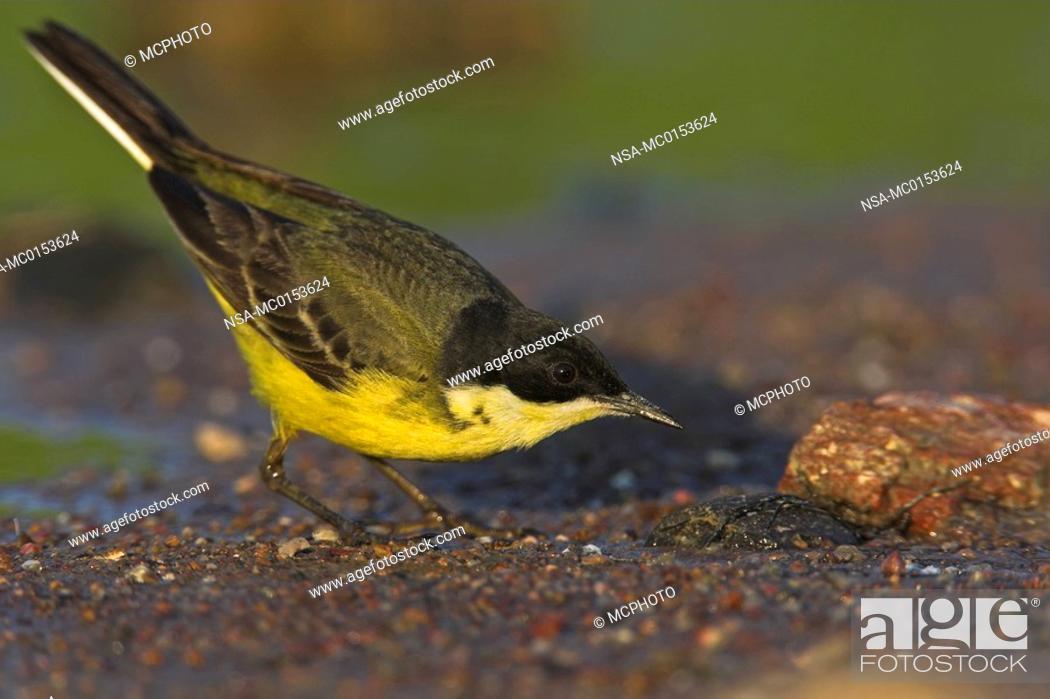 Stock Photo: Yellow Wagtail Motacilla flava.