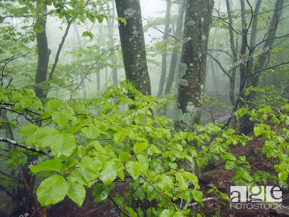 Stock Photo: Misty beech forest (Fagus sylvatica). Springtime at Montseny Natural Park. Barcelona province, Catalonia, Spain.