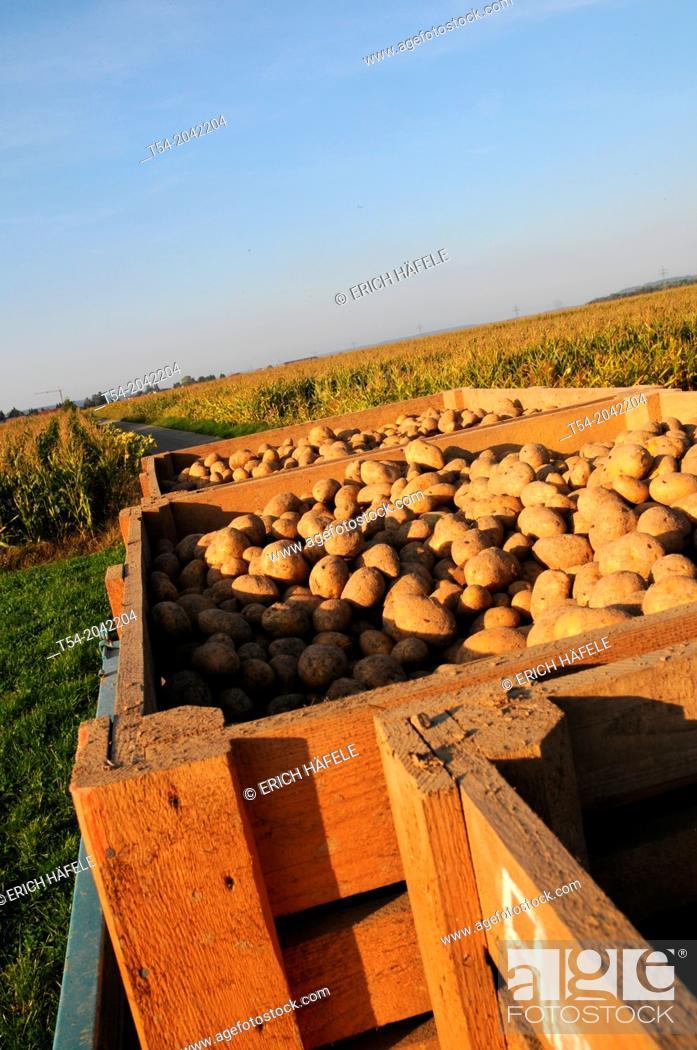 Stock Photo: Freshly dug potatoes in wooden boxes on potato field.