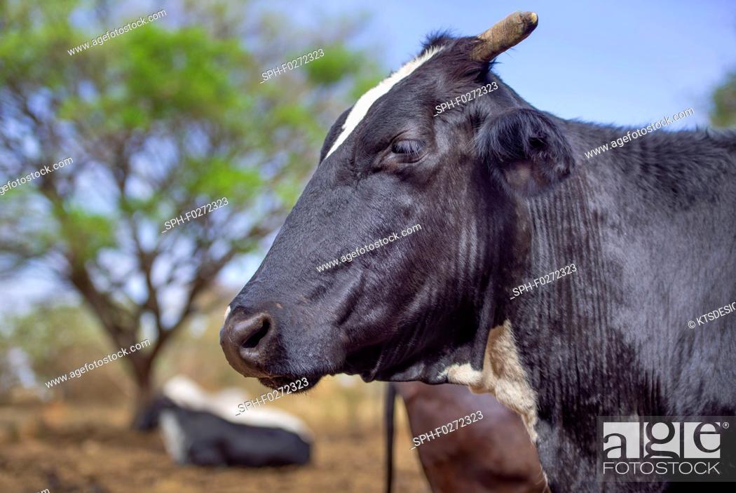 Stock Photo: Cattle in field.