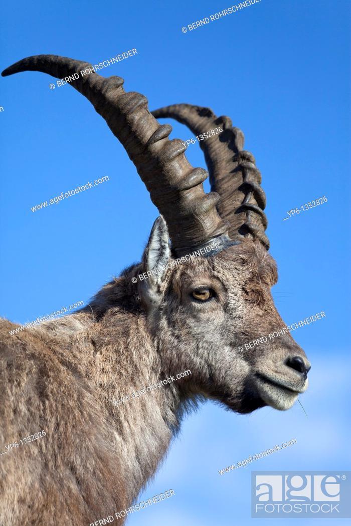 Stock Photo: portrait of a male Alpine Ibex Capra ibex, Niederhorn, Switzerland.