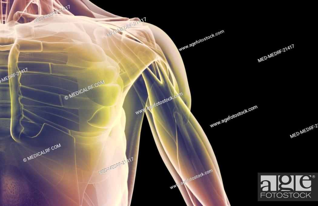 Stock Photo: The muscles of the shoulder.