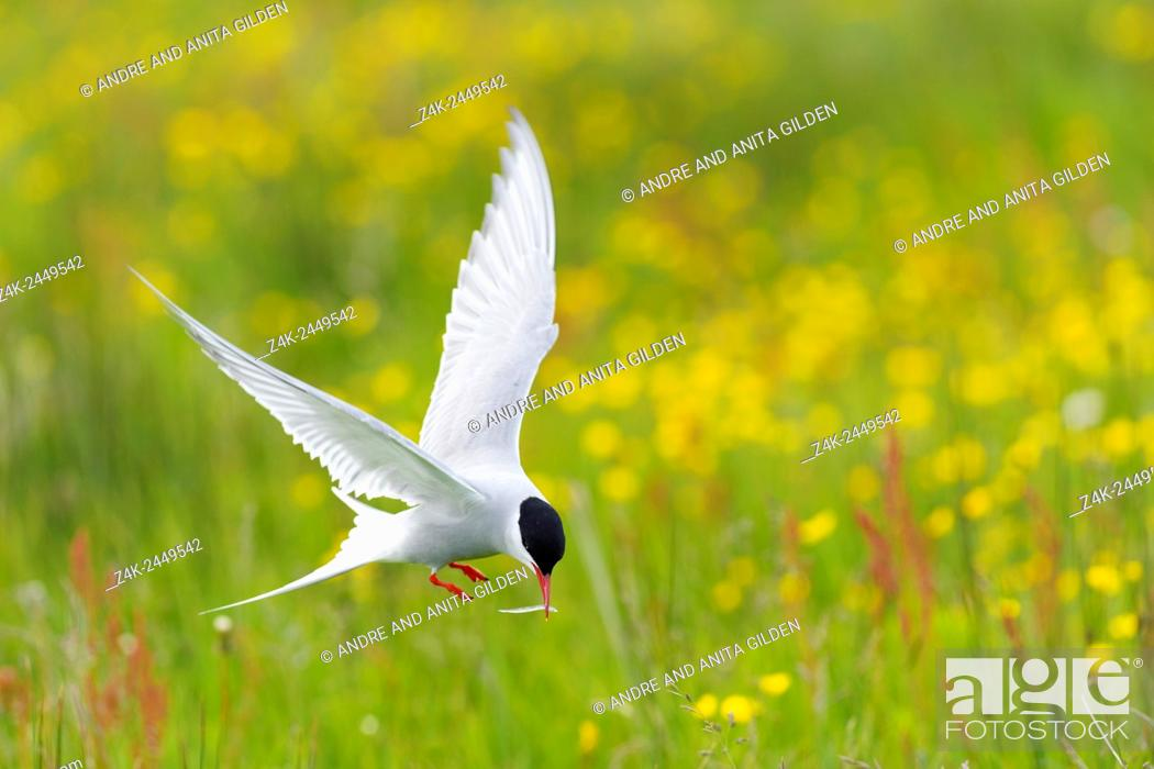 Imagen: Arctic Tern (Sterna paradisaea) in flight with little fish in beak, with yellow flowers in background, Iceland.