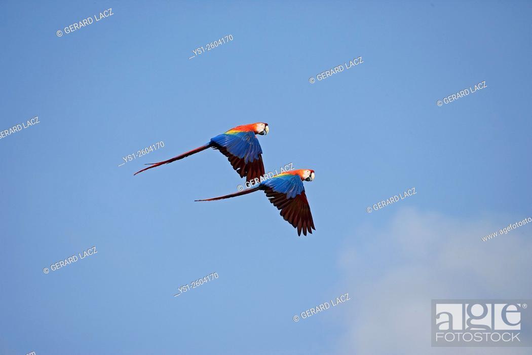 Stock Photo: Scarlet Macaw, ara macao, Pair in flight, Los Lianos in Venezuela.