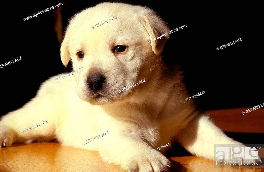 Stock Photo: YELLOW LABRADOR RETRIEVER DOG, PUP LAYING.