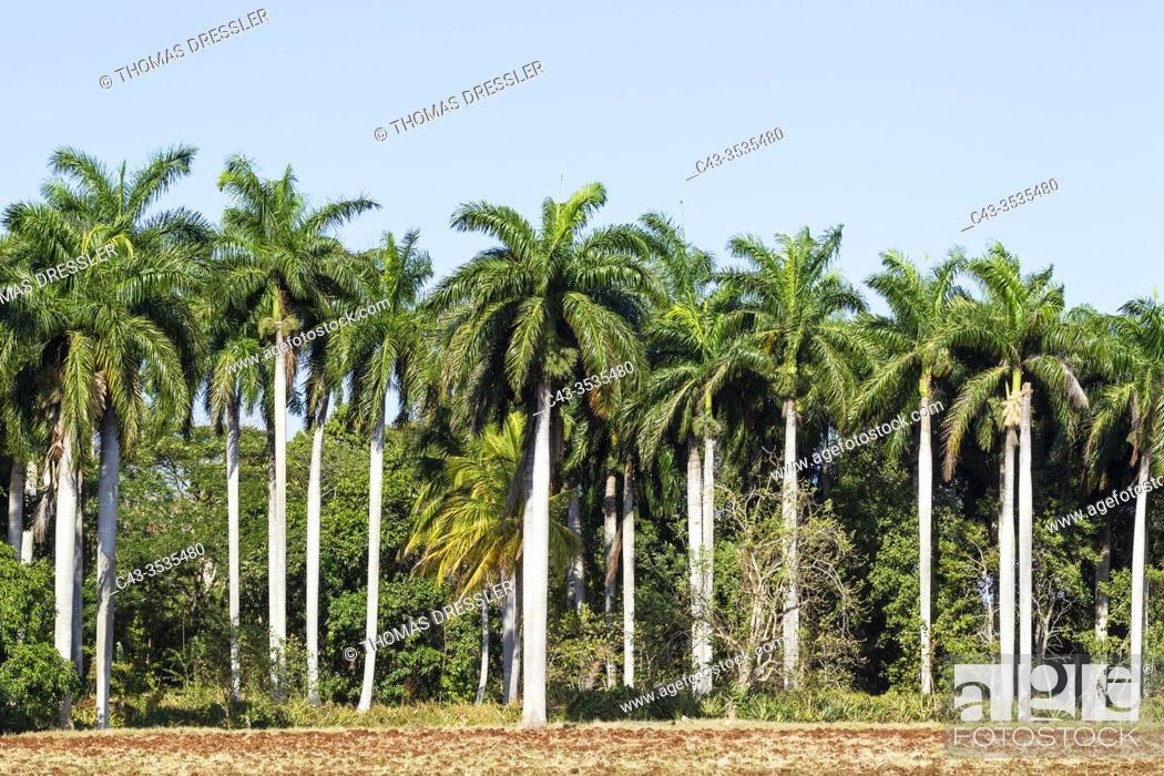 Stock Photo: Cuban royal palms (Roystonea regia). Granma province, Cuba.
