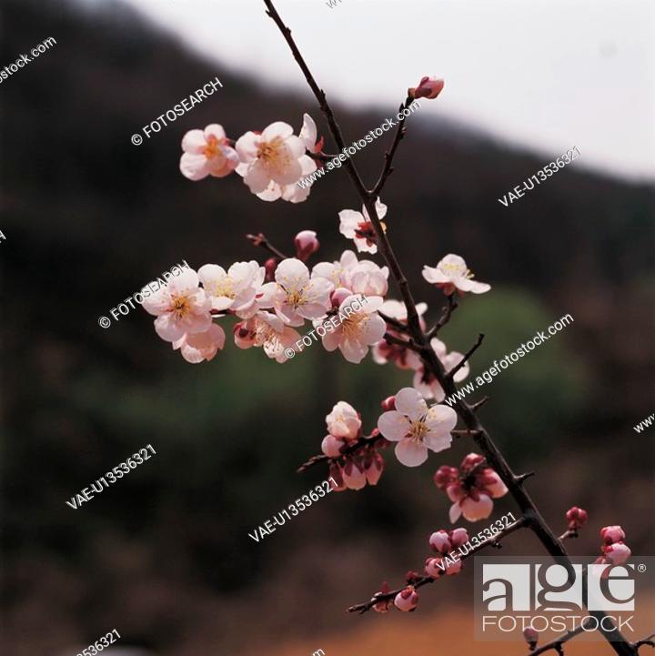 Stock Photo: blossom, plant, bloom, flowers, plants, cherry blossom, flower.