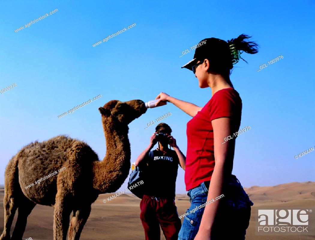Stock Photo: Western tourists feeding a baby camel, United Arab Emirates.