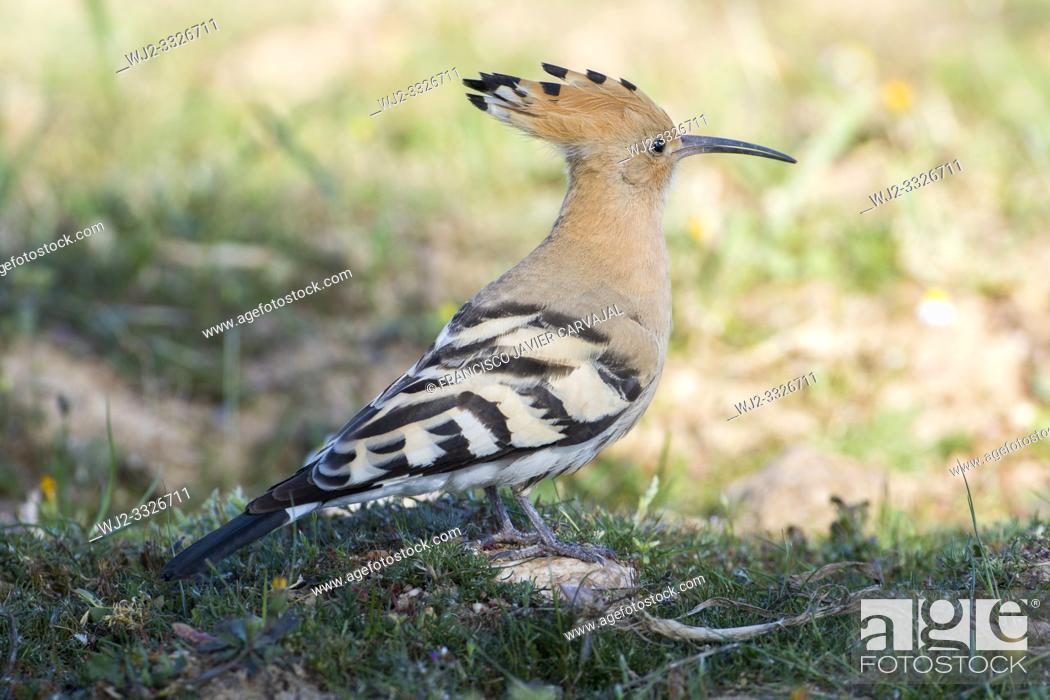 Imagen: Hoopoe (Upupa epops) containing the dawn, Extremadura, Spain.