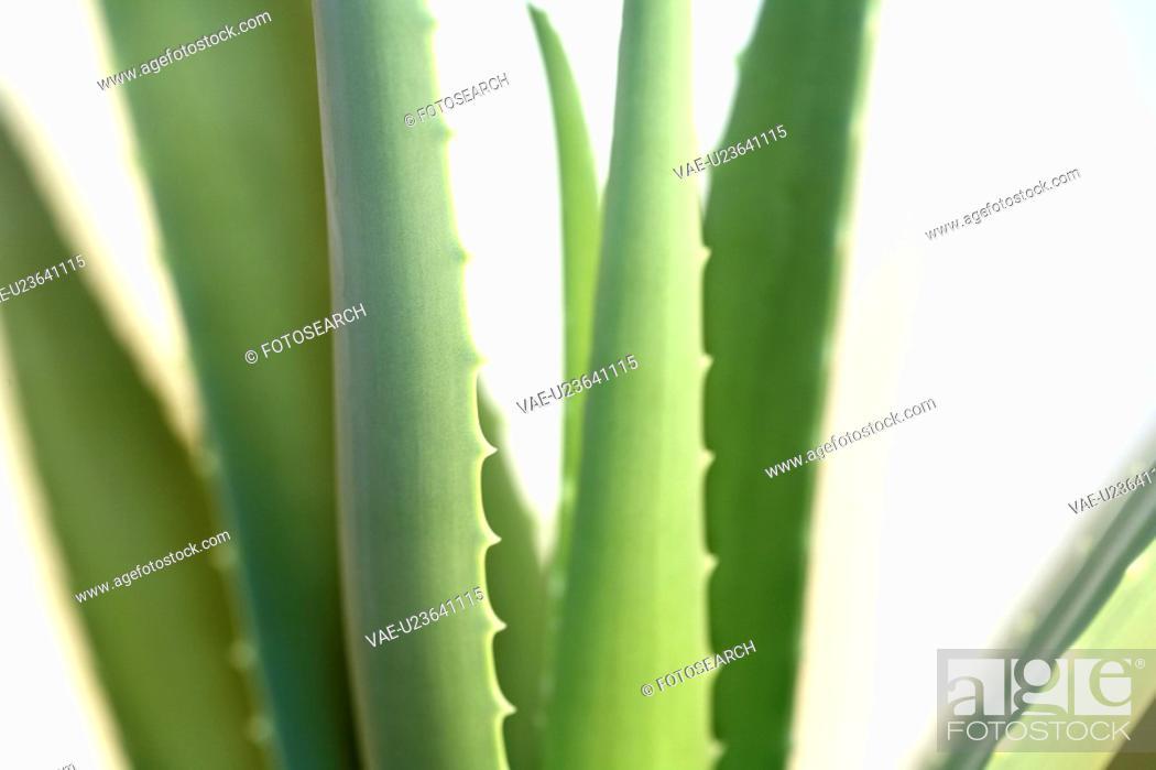 Stock Photo: germany, aloevera, fresh, cosmetic, beauty, green, aloe.