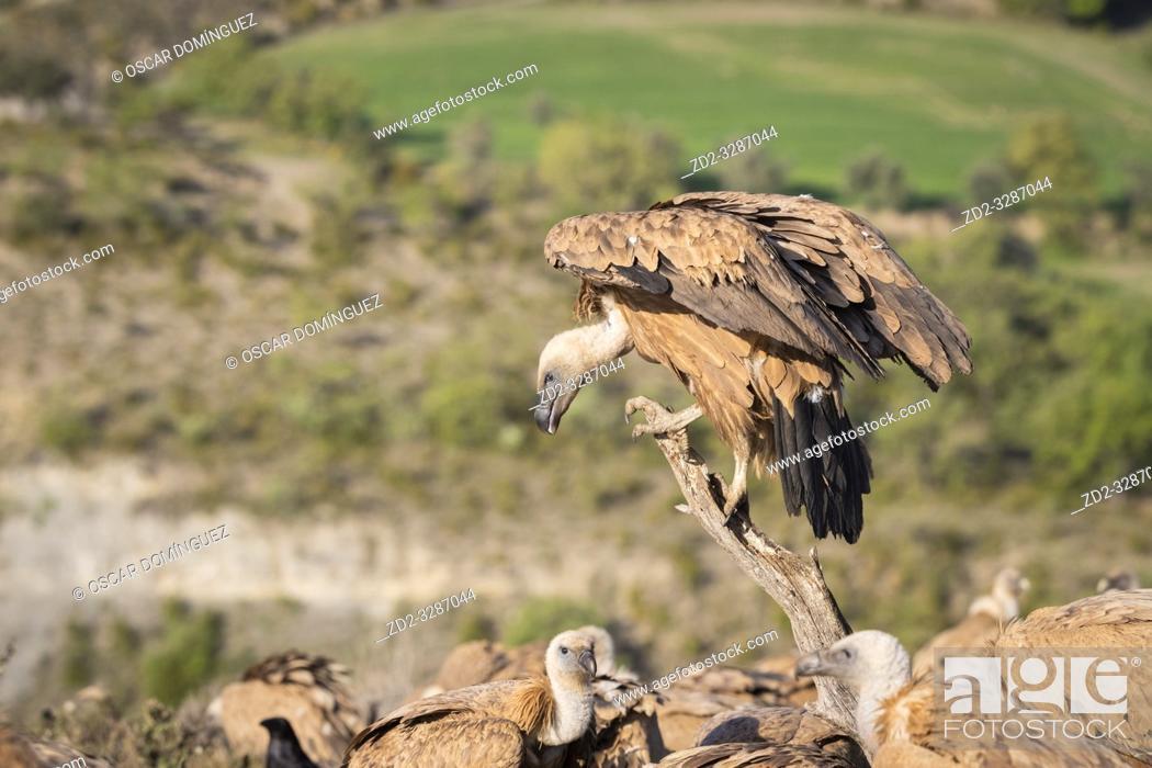 Stock Photo: Griffon Vultures (Gyps fulvus) interacting. Lleida province. Catalonia. Spain.