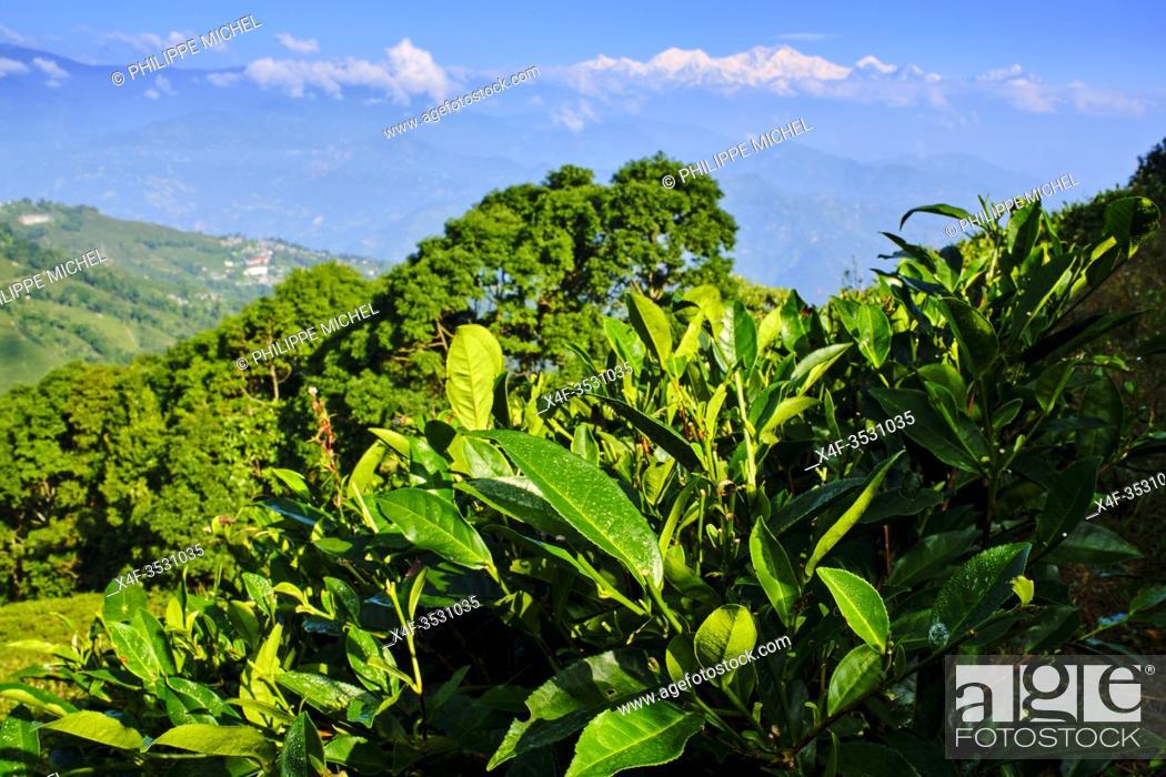 Stock Photo: India, West Bengal, Darjeeling, tea garden and view to the Himalayas, the Kangchenjunga 8586m.