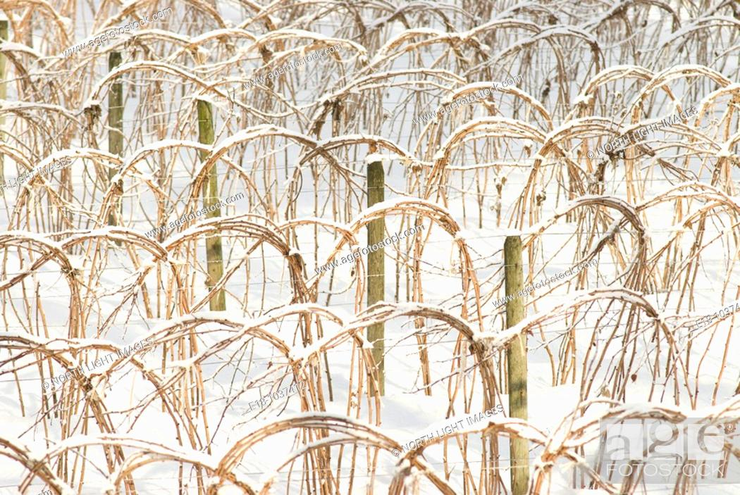 Stock Photo: Canada, BC, Abbotsford  Raspberry canes tied up in winter.