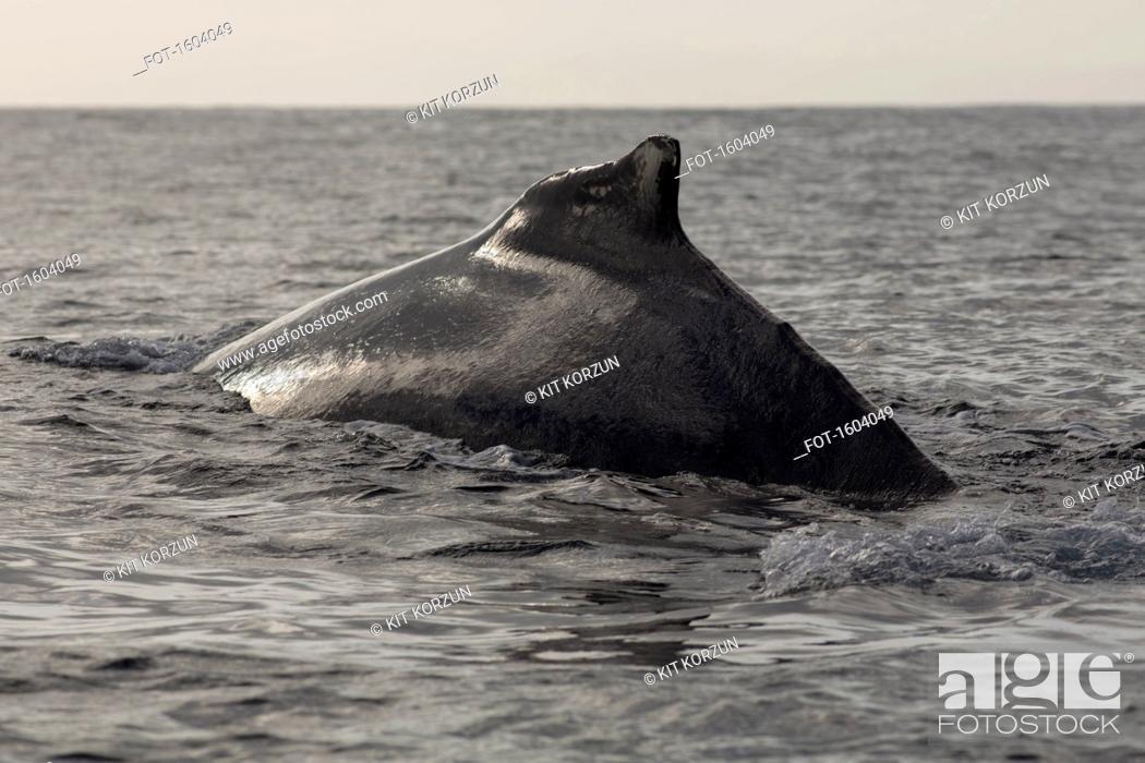 Stock Photo: Humpback whale swimming in sea.