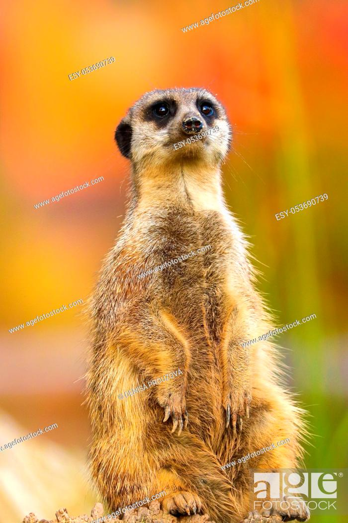 Stock Photo: Popular animal from Africa - meerkat. Meerkat famous mammal live in zoo parks. Pohot from animal live.