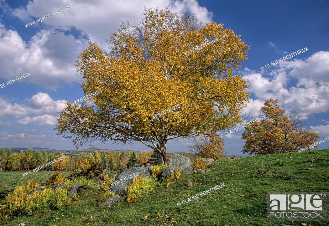 Stock Photo: White Birch in fall. Quebec, Canada. .