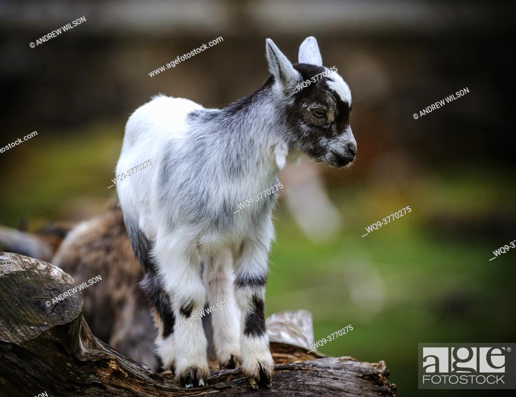 Stock Photo: Pygmy Goat kid (approx 10 days old) on a small holding in South lanarkshire, Scotland.