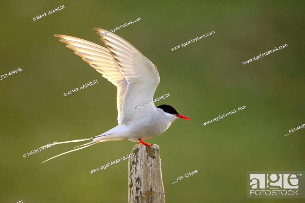 Stock Photo: Arctic Tern (Sterna paradisaea) adult alighting on post in evening light. Iceland.