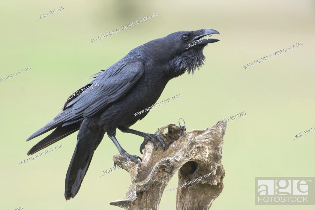 Stock Photo: Common raven, (Corvus corax) on a trunk in the meadow of Extremadura, Spain.